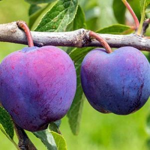 plums-cropped